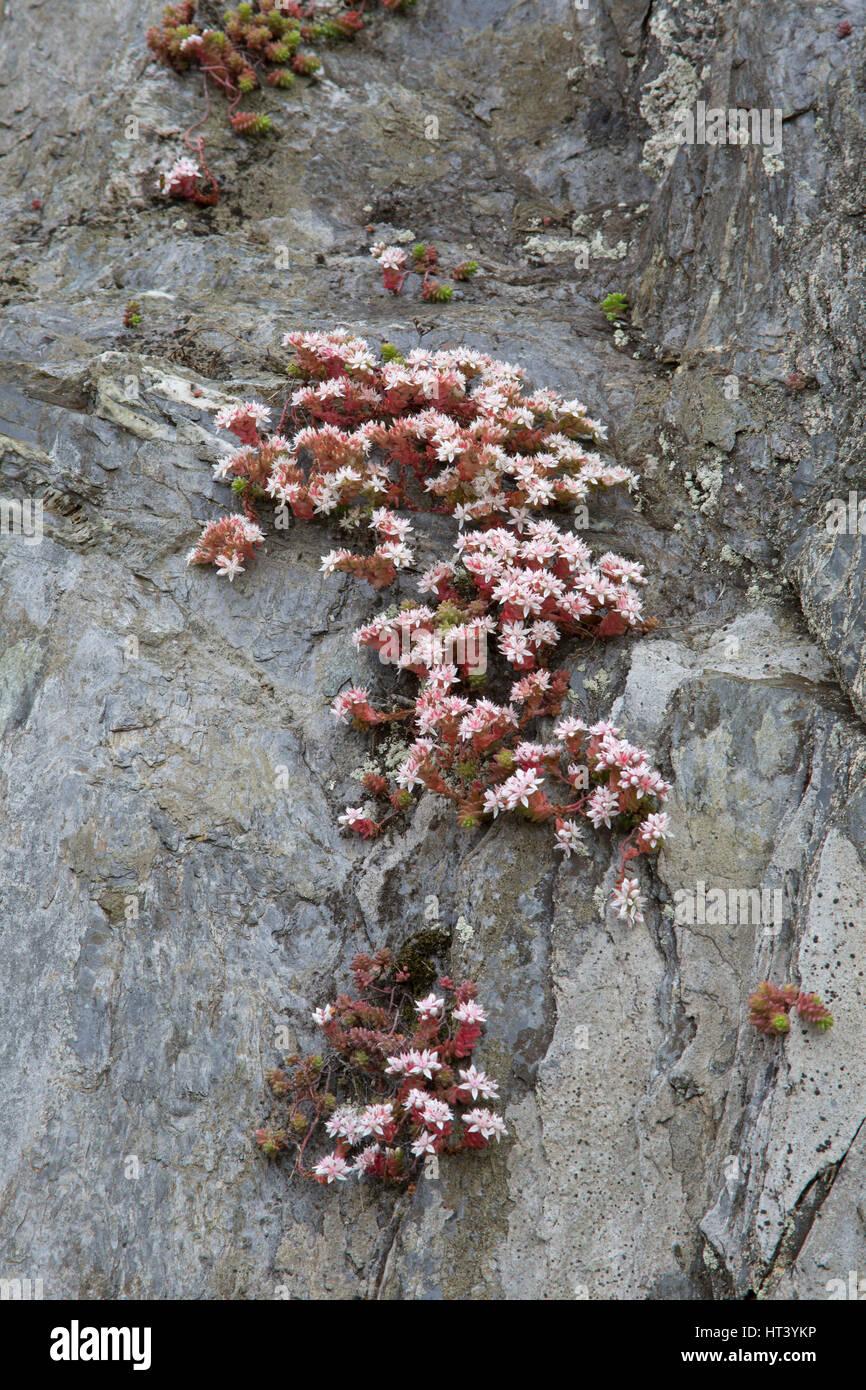 Orpin, Sedum anglicum anglais, poussant sur falaise, Mevagissey, Cornwall, UK Banque D'Images