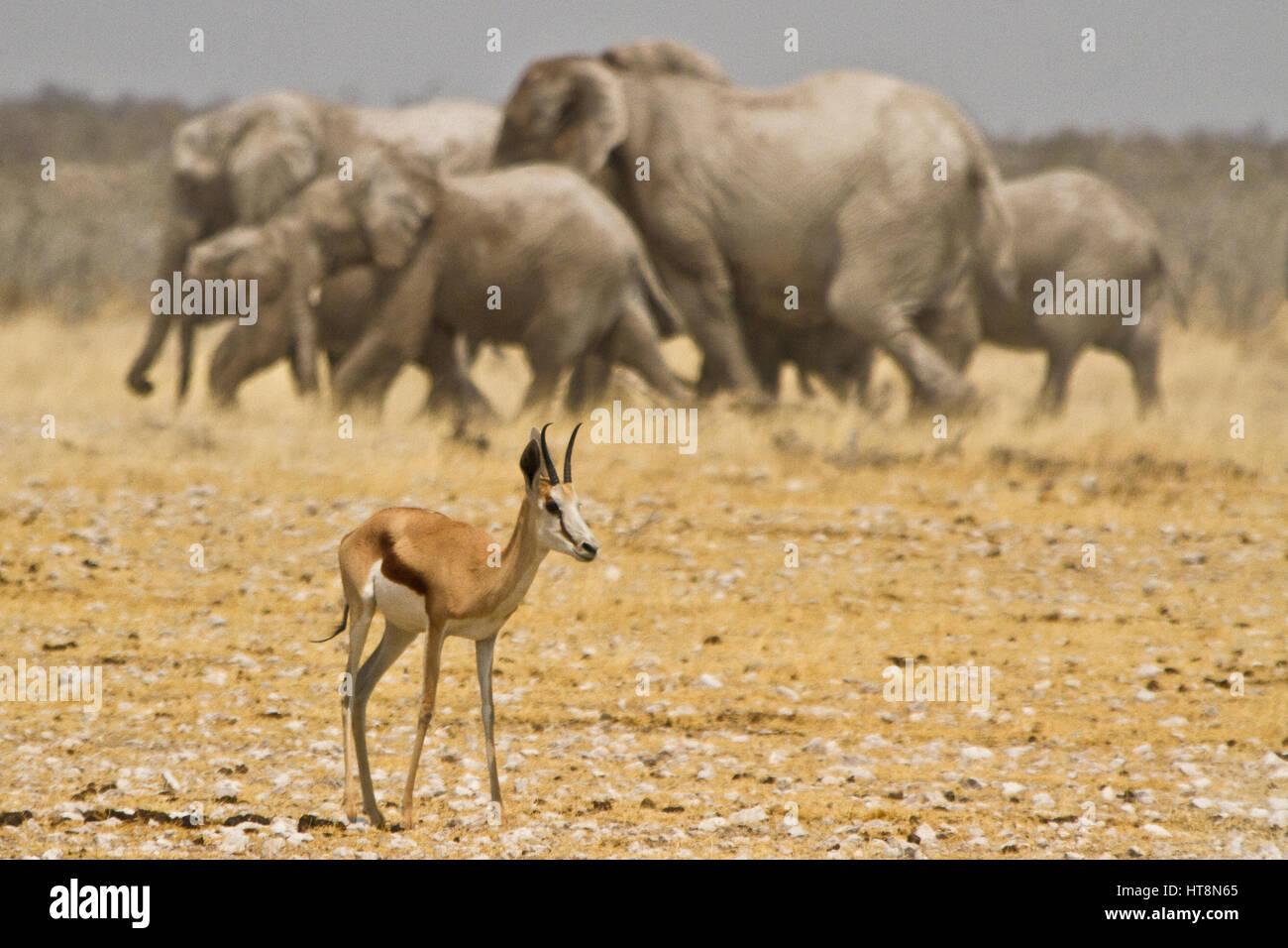 Springbok avec Ellies en mouvement derrière elle Photo Stock