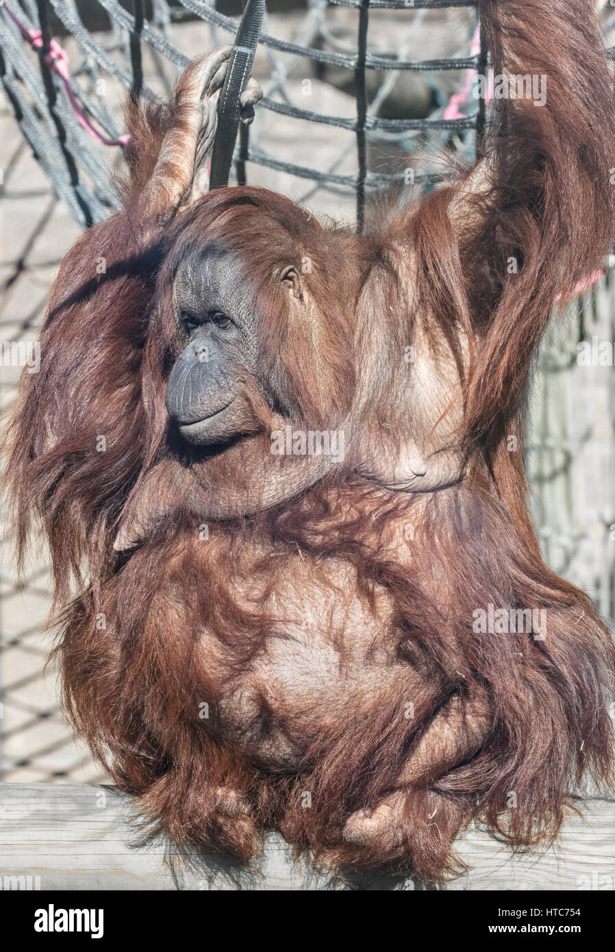 L'orang-outan, Zoo Tywcross, Leicestershire Photo Stock