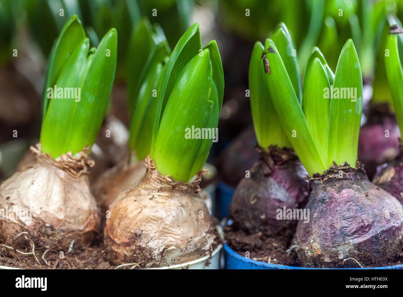 Les Bulbes De Jacinthe En Herbe Dans Les Pots De Fleurs Banque D