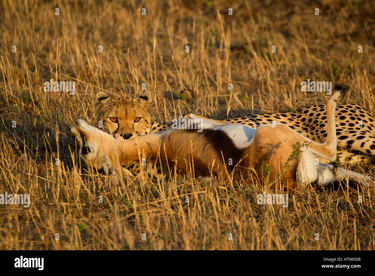 Le Guépard (Acinonyx jubatus) avec son kill, Masai Mara National Reserve, Kenya, Afrique de l'Est Photo Stock