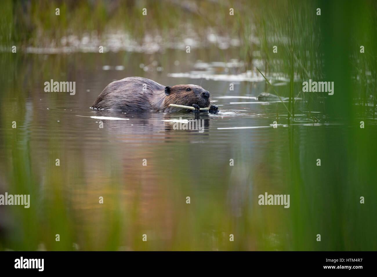 L'alimentation d'un castor dans un étang nr Whitefish Falls, District de Sudbury, Ontario, Canada Banque D'Images