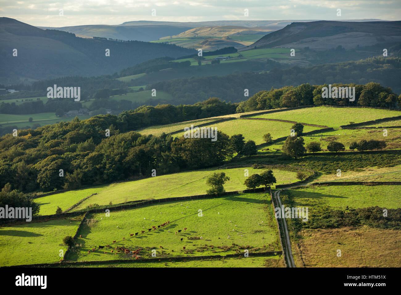 Du bétail dans un champ sur Callow banque ci-dessous Stanage Edge de Millstone Edge, nr Hathersage, Derbyshire Peaks District National Park, Angleterre, RU Banque D'Images