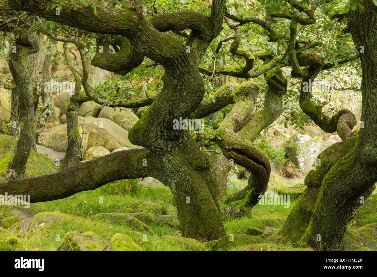 Des troncs tordus dans Padley Gorge, Derbyshire Peaks District, England, UK Banque D'Images