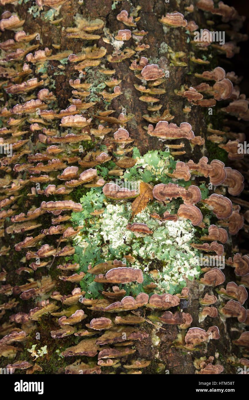 Détails de l'écorce et les champignons le long de la rivière Oxtongue à Ragged Falls Provincial Park, Ontario, Canada Banque D'Images