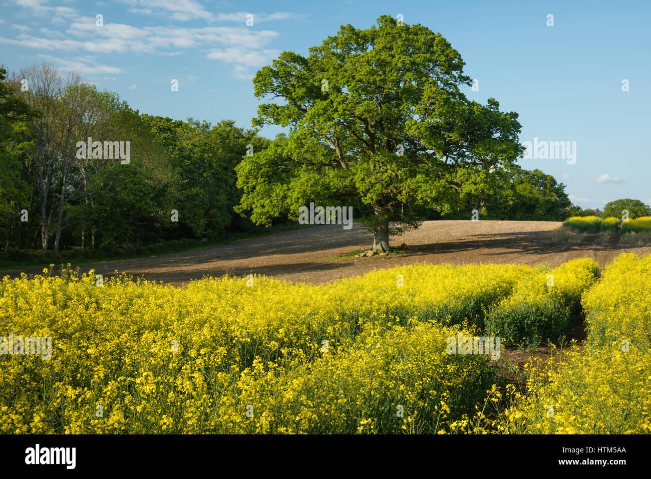 Un champ de colza sur la succession de Sherborne, Dorset, England, UK Banque D'Images