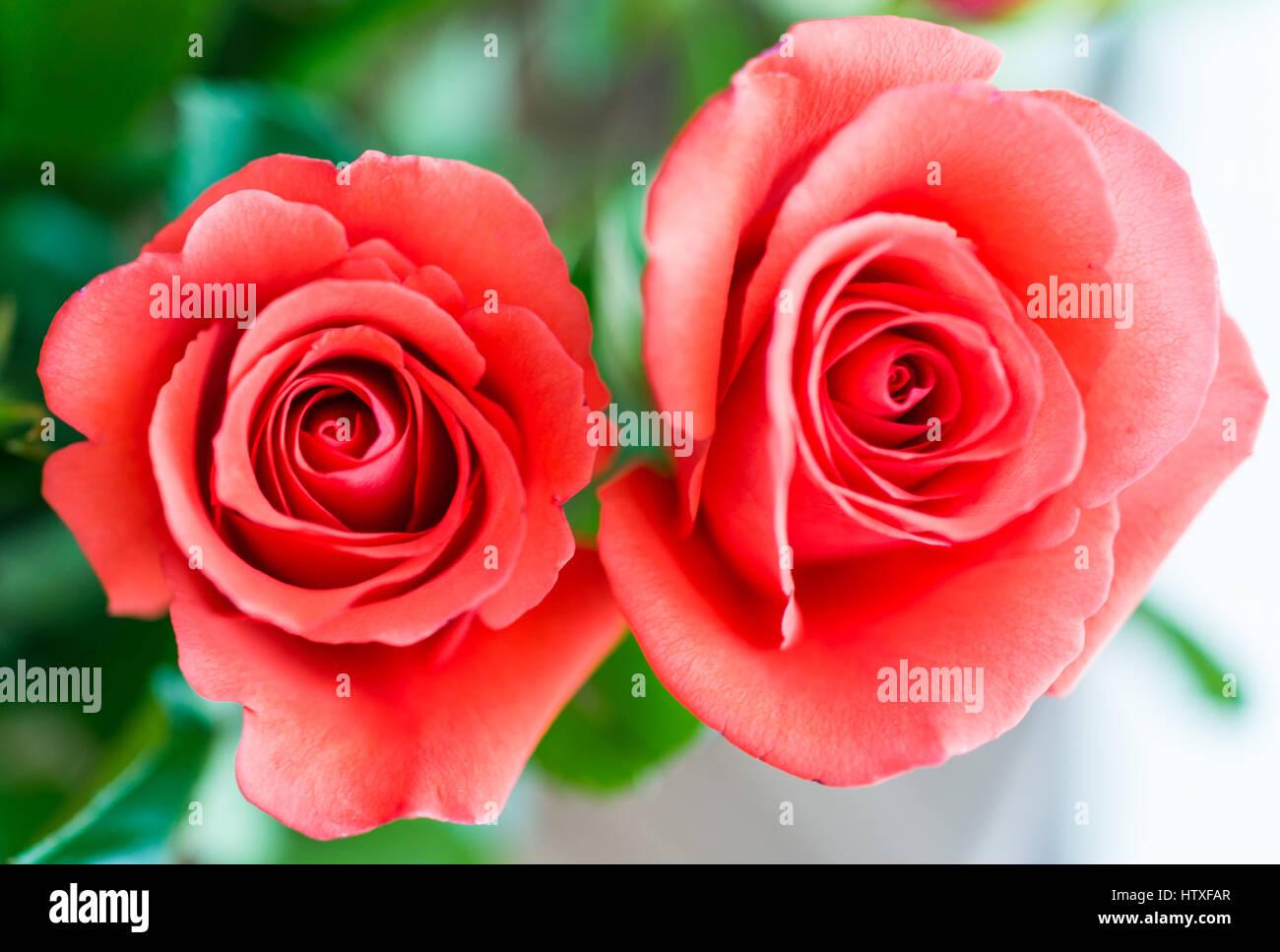 Gros plan macro de sommets des deux roses rouge orange Photo Stock