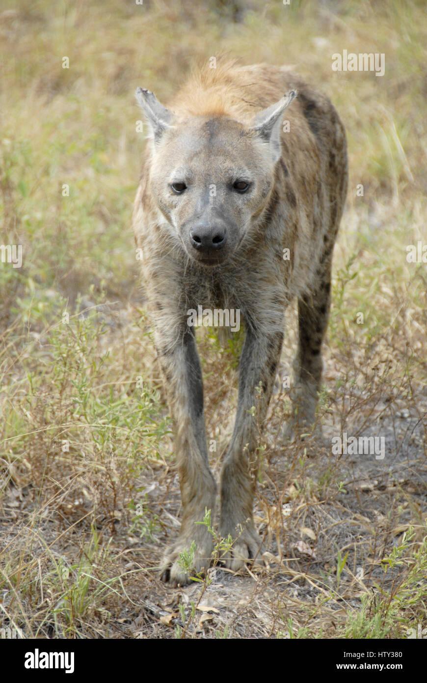 L'hyène tachetée, Kruger National Park, Afrique du Sud Photo Stock
