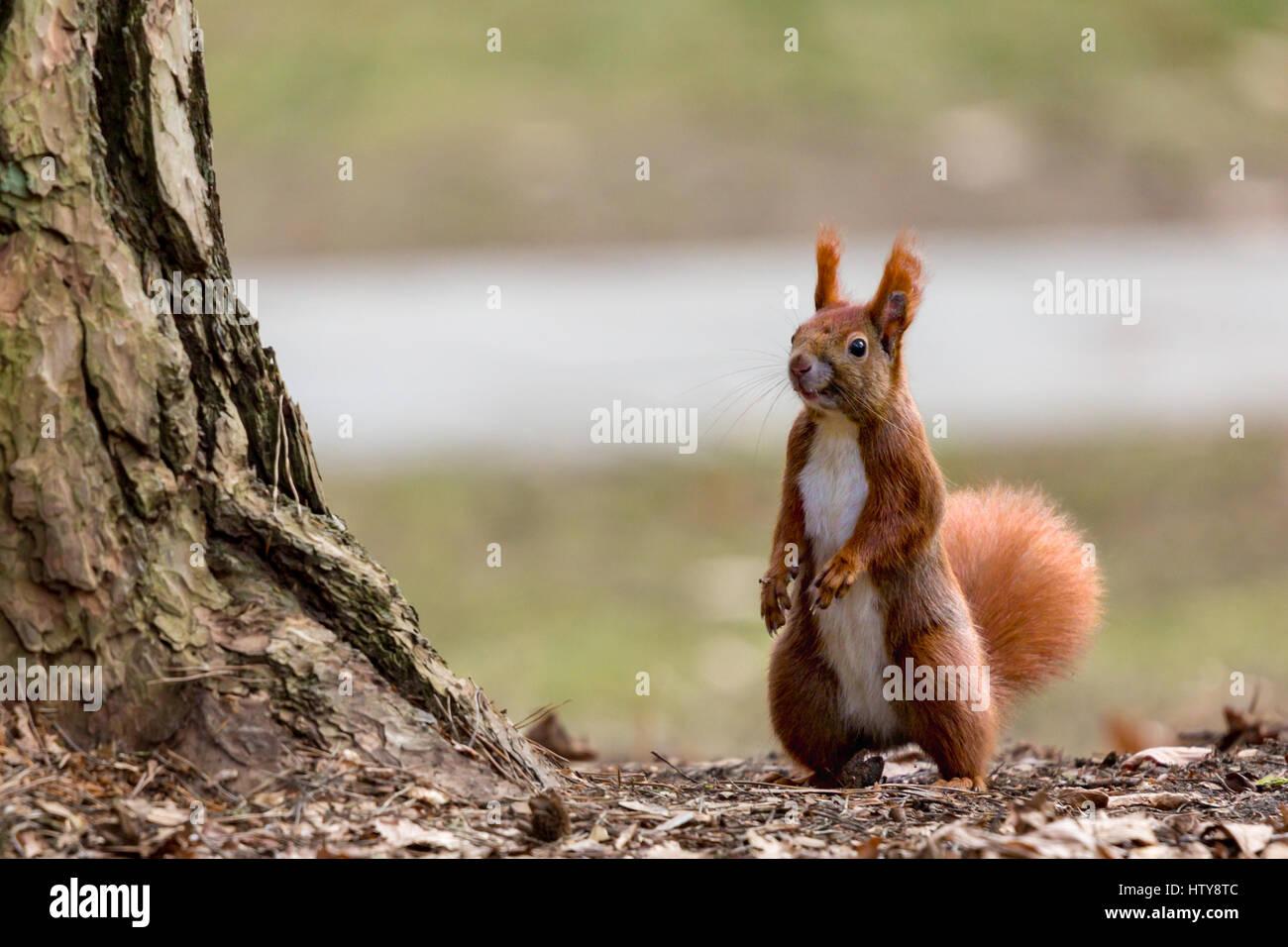 Écureuil dans la saison du printemps Photo Stock