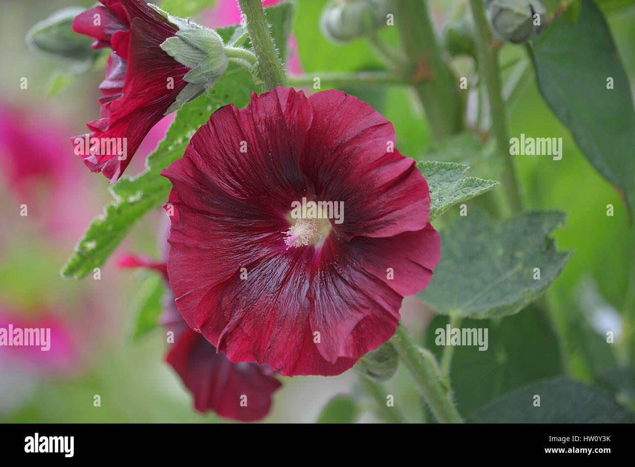 Rose trémière. Photo Stock