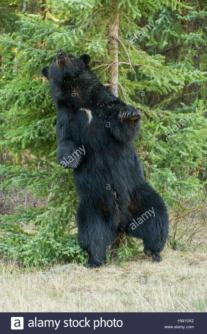 Un noir rayures le dos contre un tronc d'arbre. Banque D'Images