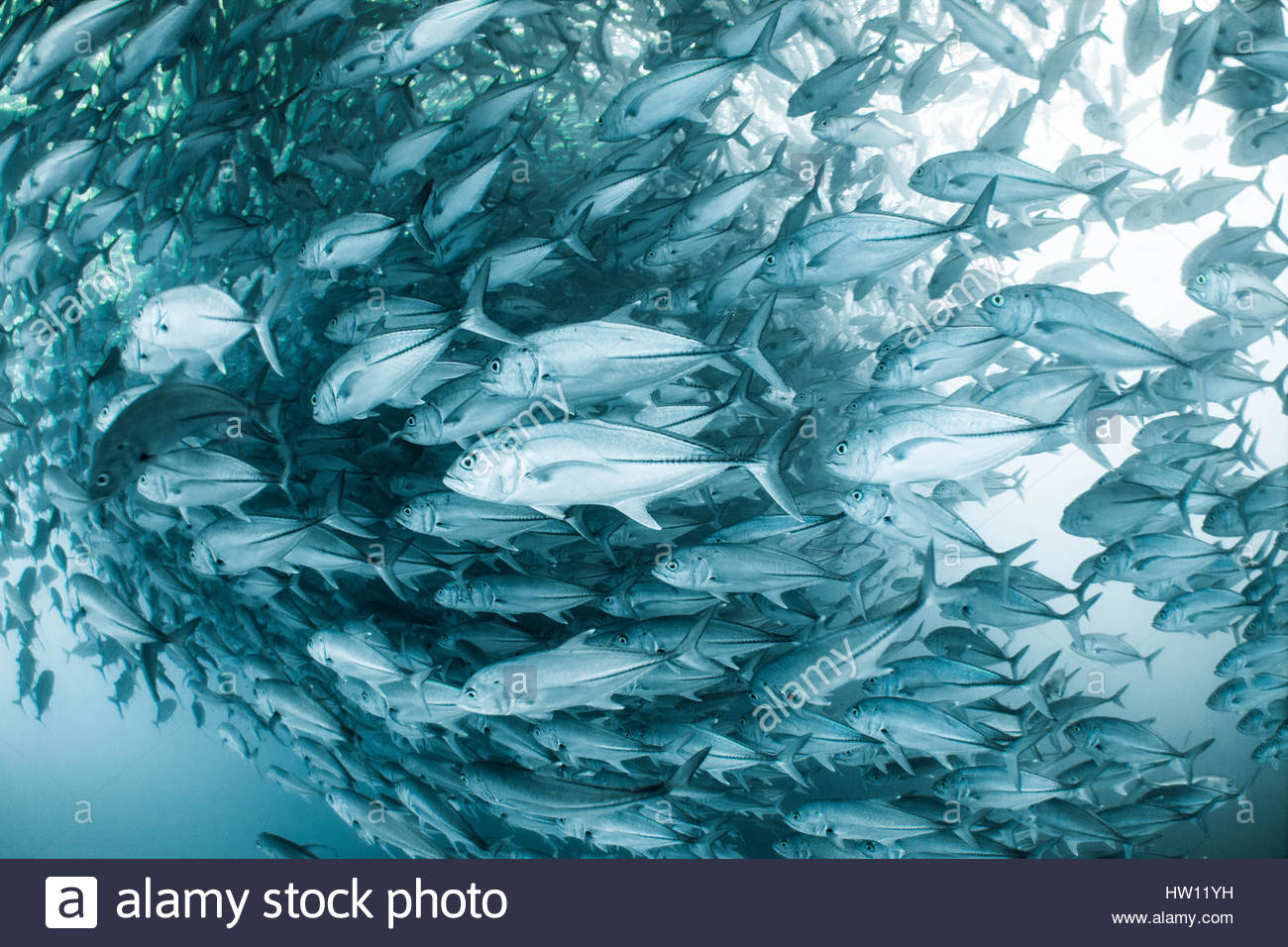 Une grande école de l'œil dans le Jackfish Réserve naturelle de Cabo Pulmo à Baja, au Mexique. Photo Stock