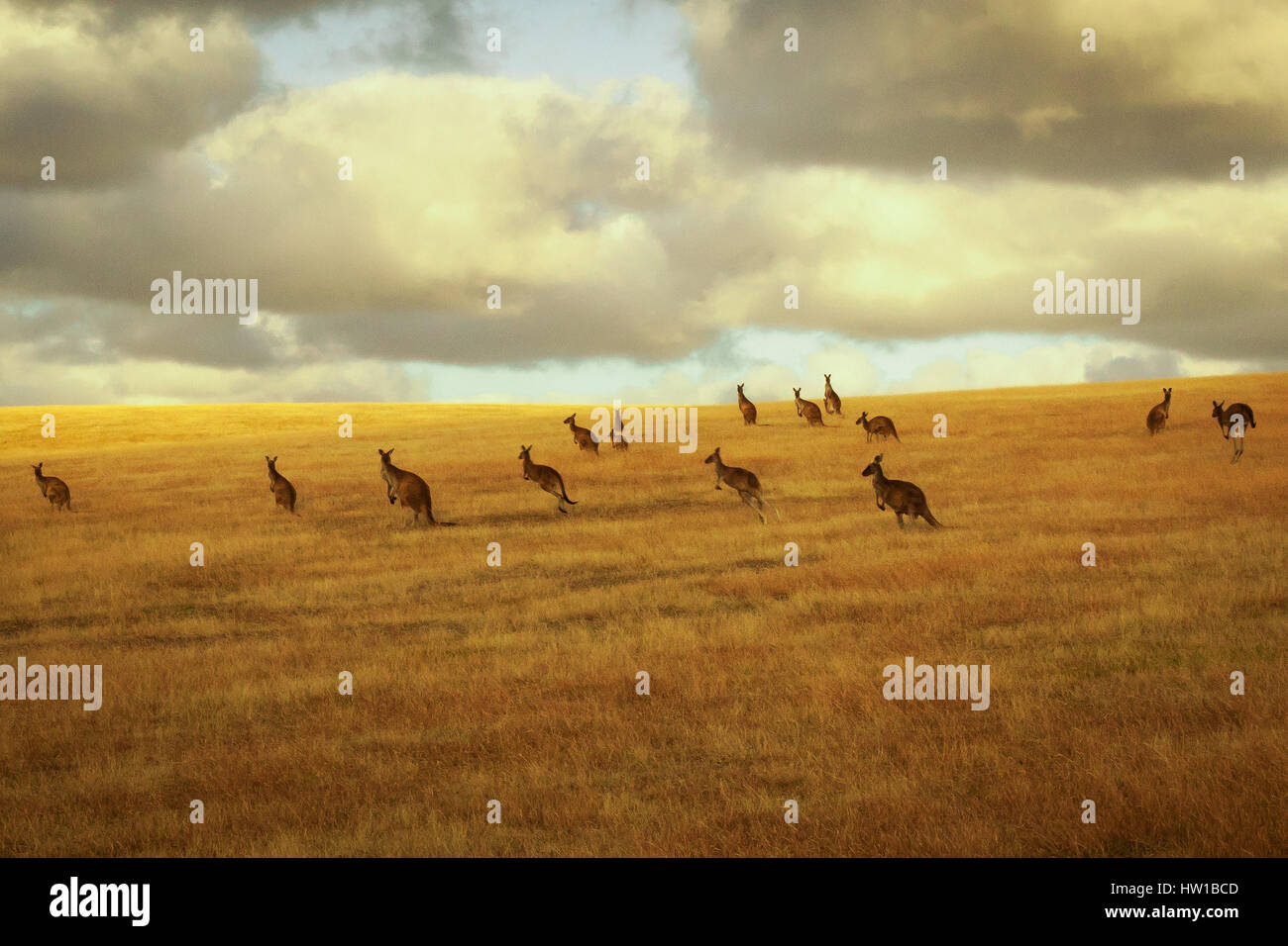 Western-gris kangourou (Macropus fuliginosus) Photo Stock