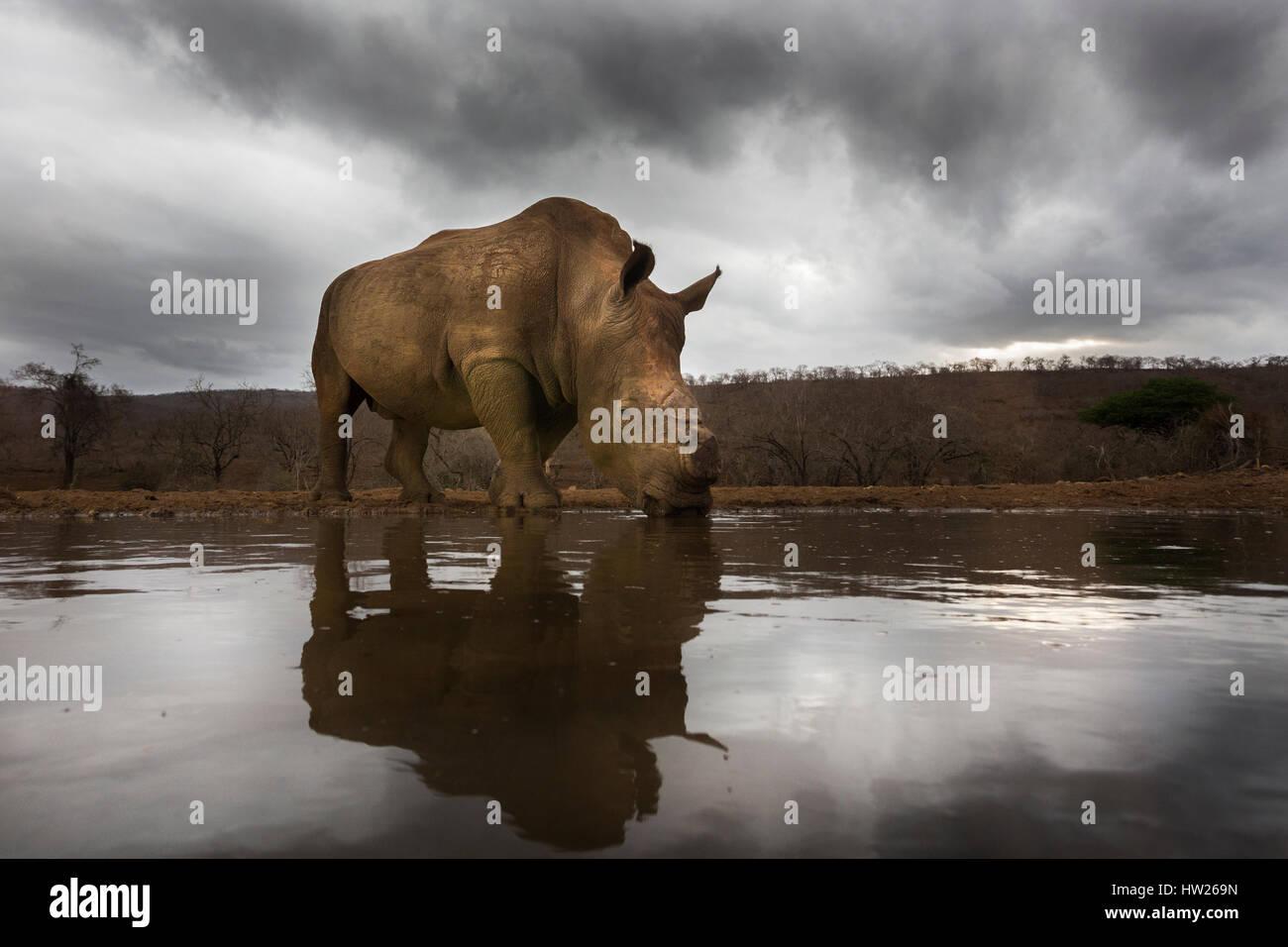 Le rhinocéros blanc (Ceratotherium simum), Zimanga du dehorned Private Game Reserve, KwaZulu Natal, Afrique Photo Stock