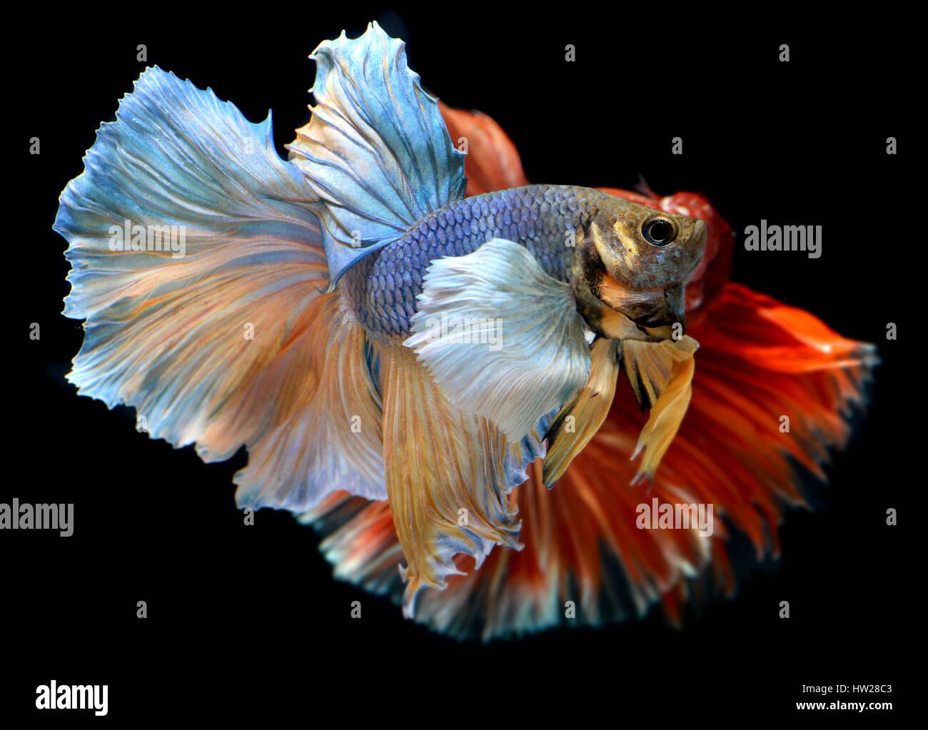 Betta poisson dans la liberté d'action et montrer la belle queue nageoires photo en flash l'éclairage. Photo Stock