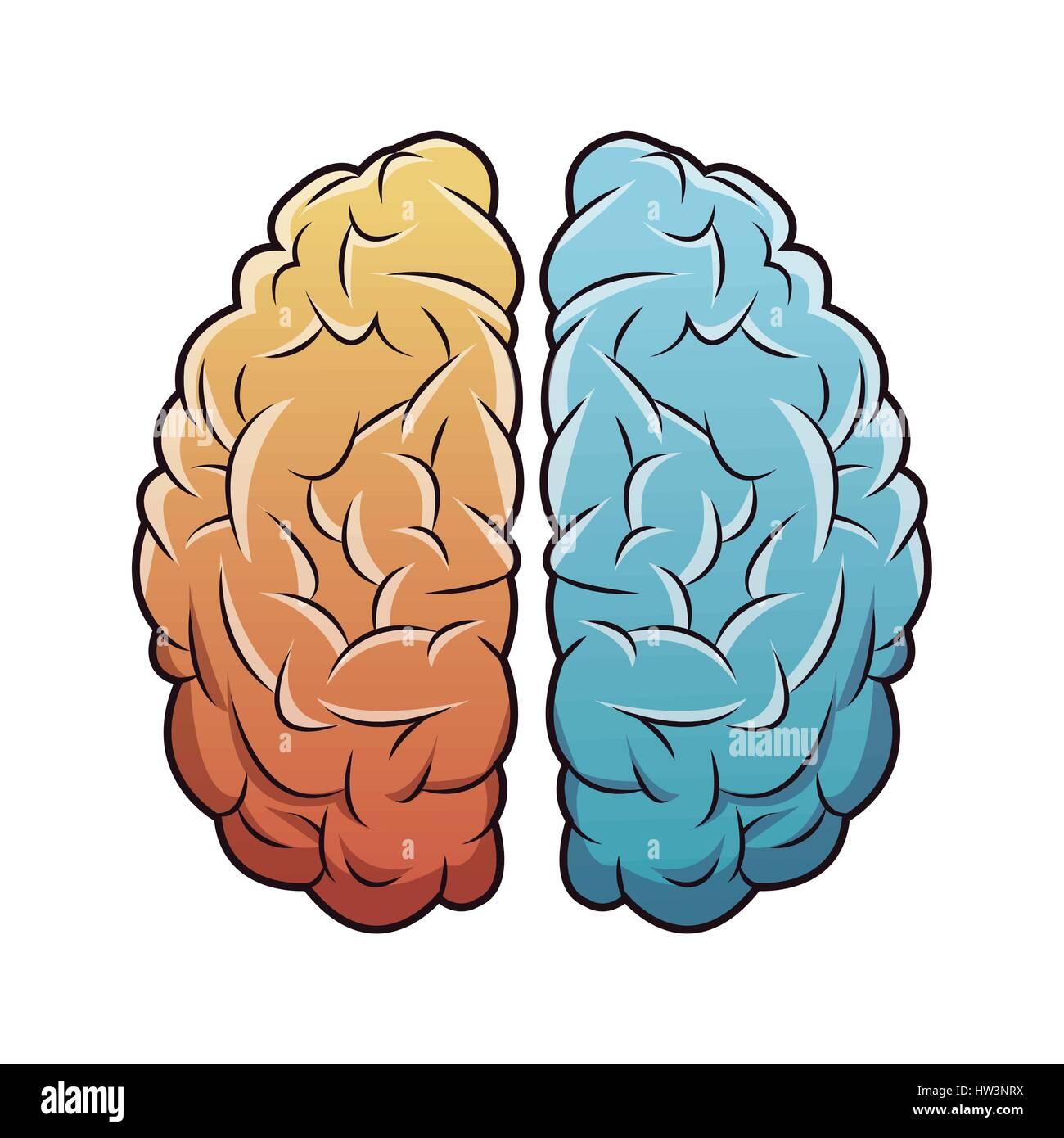 Les droits de l'anatomie du cerveau droit Illustration de Vecteur