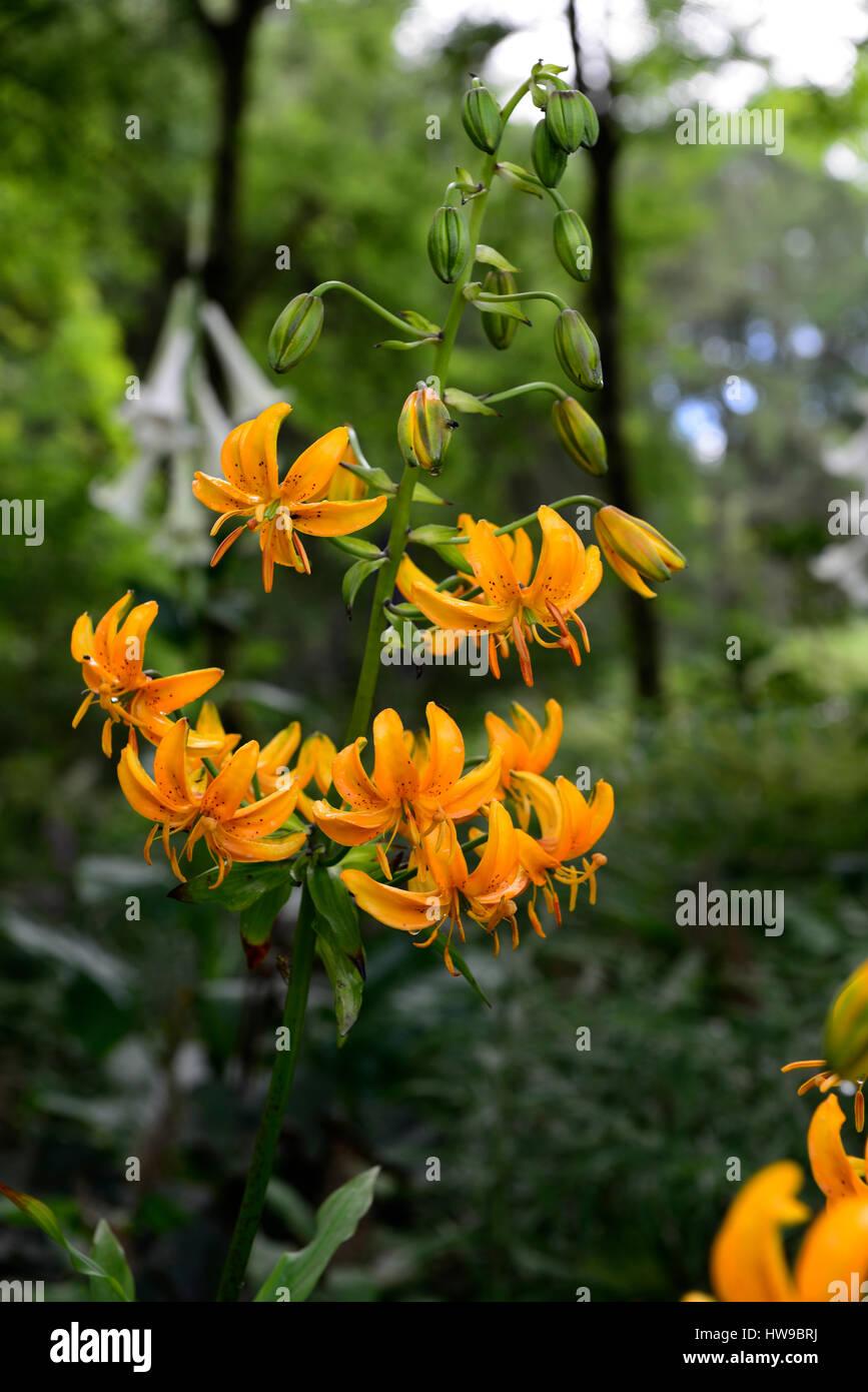 ilium hansonii japonais turk 39 s cap lily jaune d 39 or lys lilium fleurs fleurs plantes. Black Bedroom Furniture Sets. Home Design Ideas