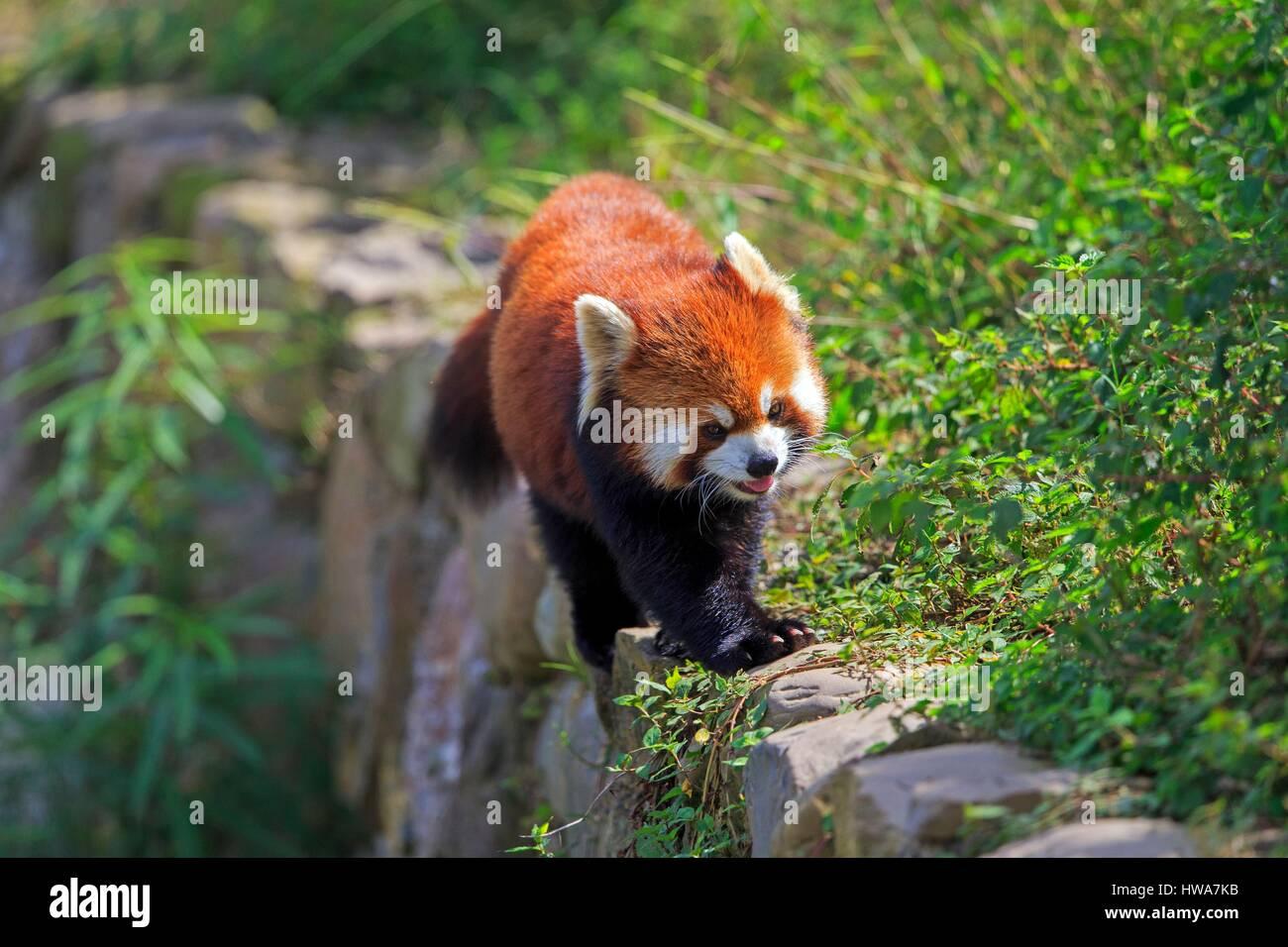 China, Shanghai, la recherche de base de l'élevage du Panda Géant ou Chengdu Panda Base, le panda Photo Stock