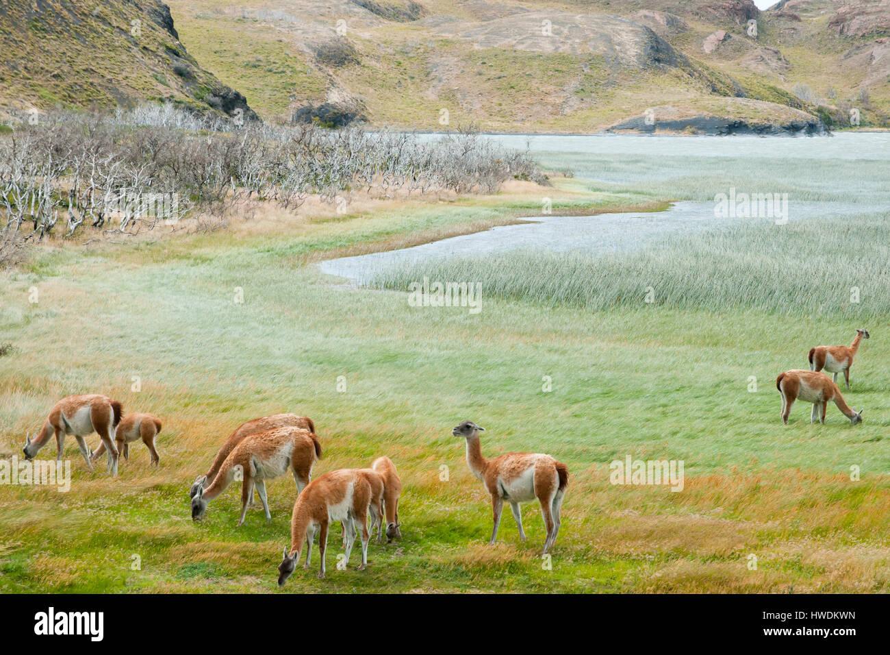 Guanacos - Torres del Paine - Chili Banque D'Images