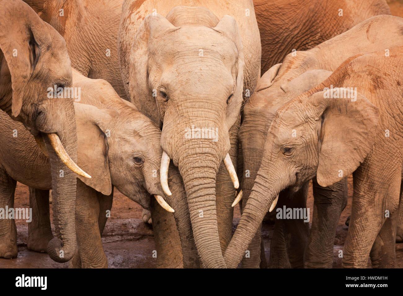 Un troupeau d'éléphants à un étang à Addo Elephant National Park, Afrique du Sud. Banque D'Images