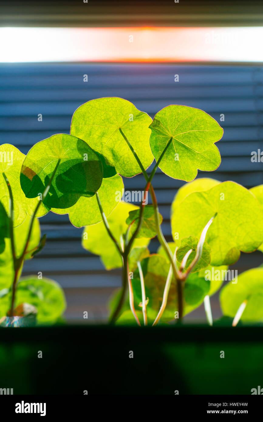 Tropaeolum majus semis de fleurs sous un éclairage de LED. Photo Stock