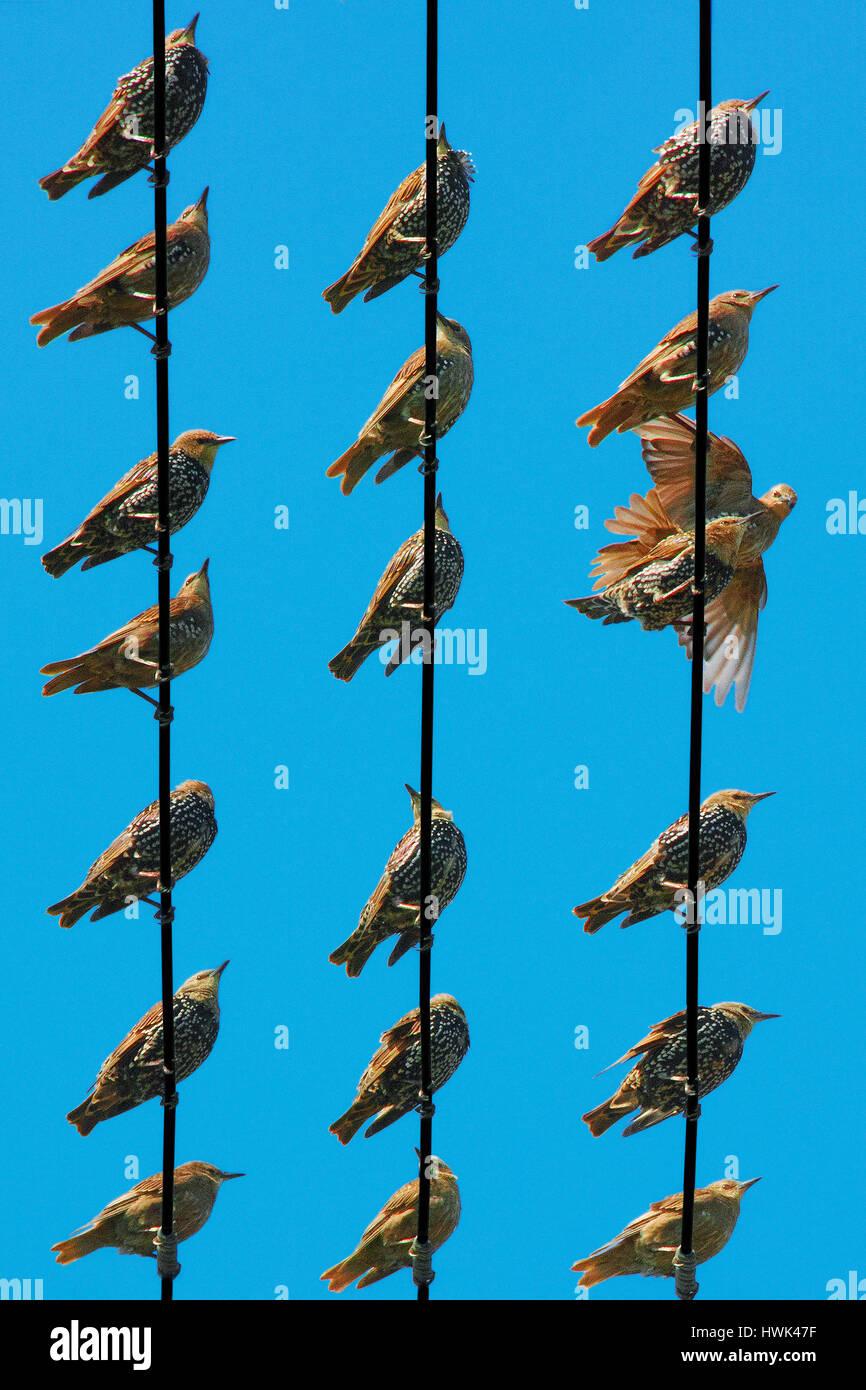 Les étourneaux dans différentes poses vu du dessous sur les rangées de fils électriques Photo Stock