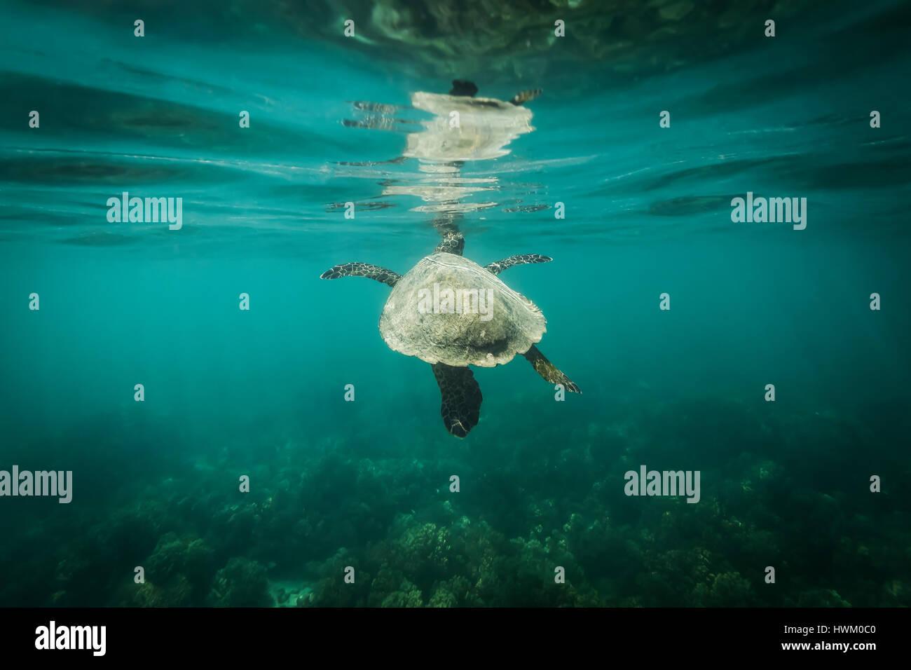 La tortue imbriquée (Eretmochelys imbricata) Banque D'Images