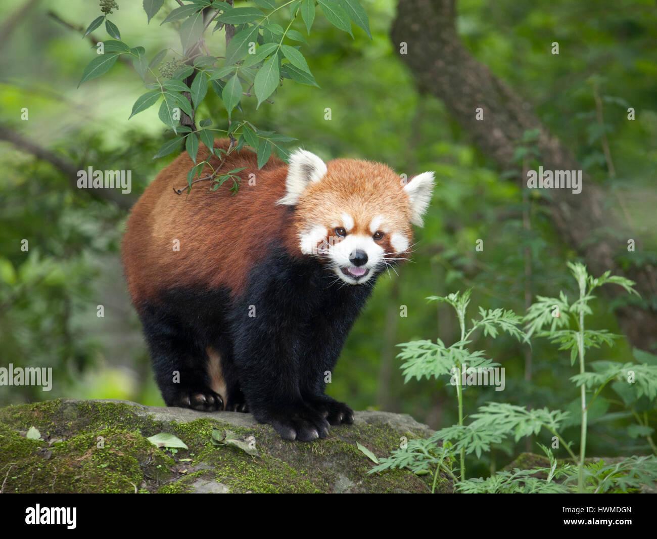 Le panda rouge (Ailurus fulgens) dans la réserve naturelle de Wolong forêt montagnarde, Chine Photo Stock