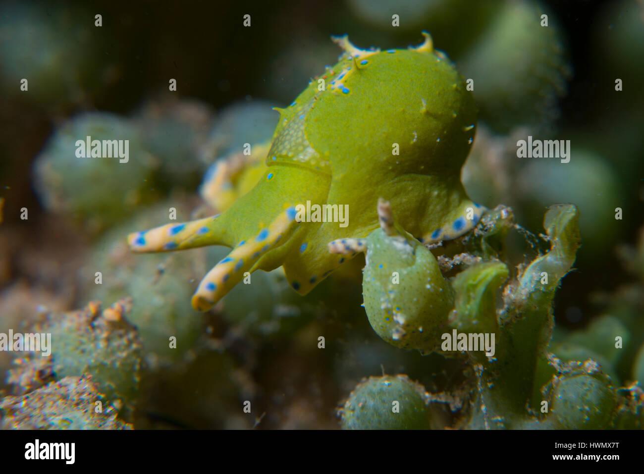 Paire d'escargots de mer, Oxynoe viridis, sur l'algue verte Caulerpa racemosa, Anilao, Luzon, Philippines, du détroit de Guimaras Banque D'Images