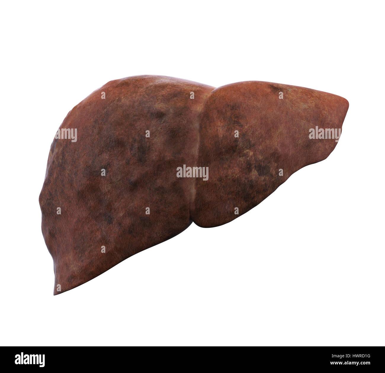 Ligamentum Photos & Ligamentum Images - Alamy