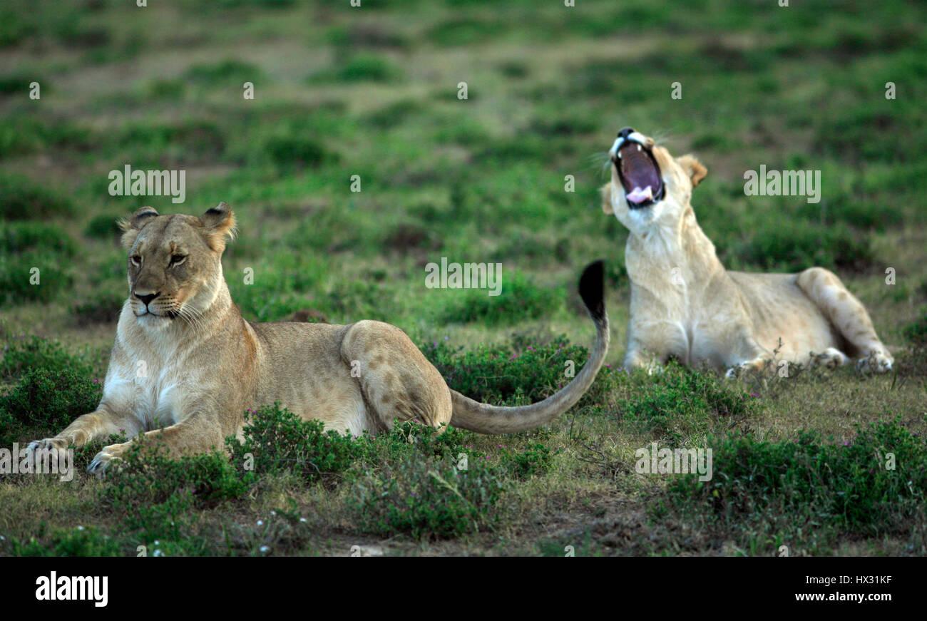 Une lionne bâille comme un autre lionne est assis sur l'herbe lors d'un safari, sur une réserve privée en Afrique du Sud le 18 mars 2017. © John Voos Banque D'Images