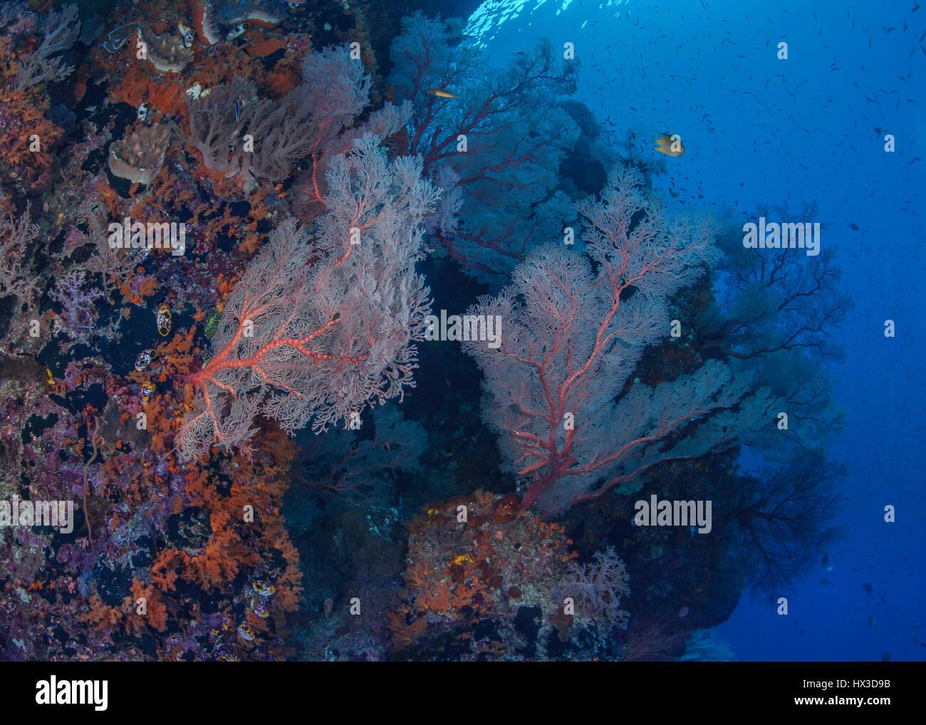 Mur corallien peuplé par des fans de la mer luminescents. Raja Ampat, en Indonésie. Photo Stock