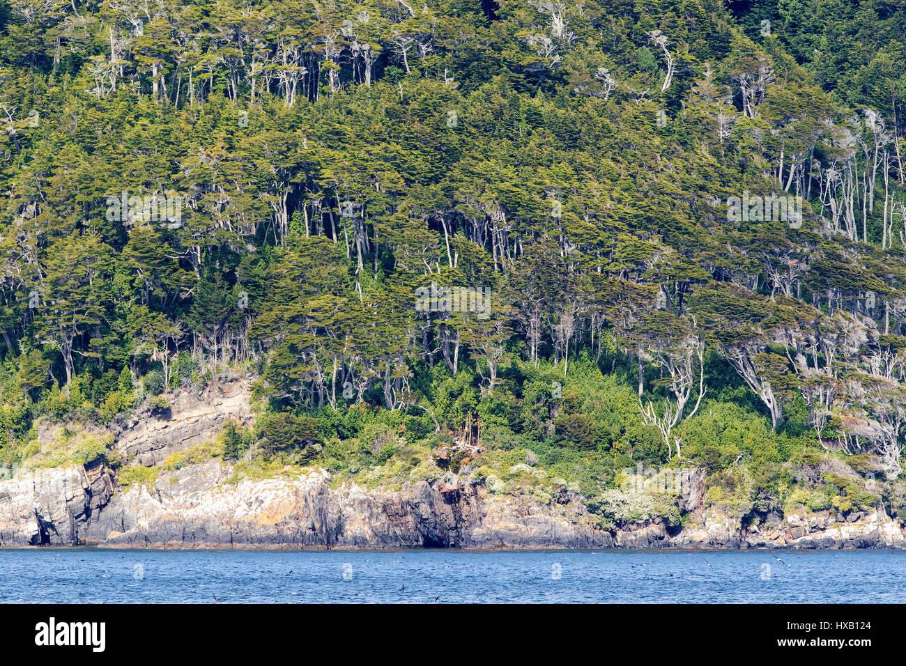 Forêt de hêtres sur les rives du canal de Beagle, en Patagonie, au Chili. Photo Stock