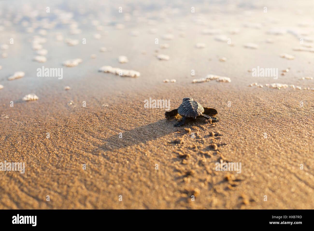 Bébé tortue caouanne (Caretta caretta) faire son voyage vers la mer. Mon Repos Conservation Park, Bundaberg, Photo Stock