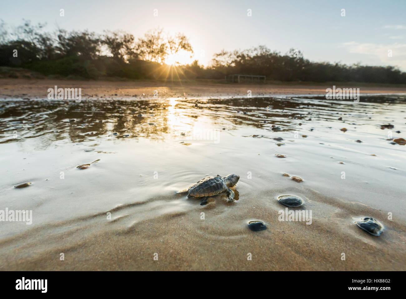 Bébé tortue caouanne (Caretta caretta) faire son voyage vers la mer au coucher du soleil. Mon Repos Conservation Photo Stock