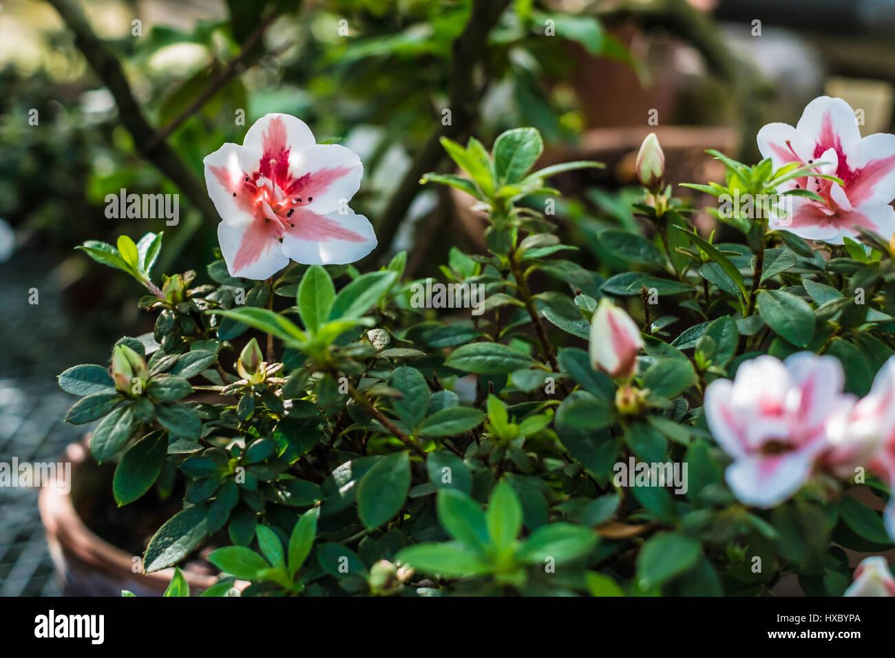 Lumiere Blanche Et Rose Fleur Tropicale Rhododendron Avec Fond Vert
