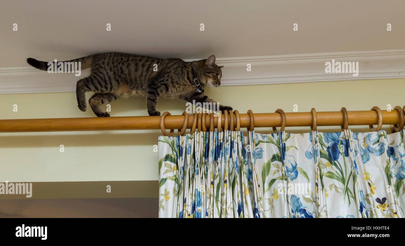 Jeune chat tigré chat bengal en équilibre sur un poteau de rideau, tête touche presque le plafond. Photo Stock
