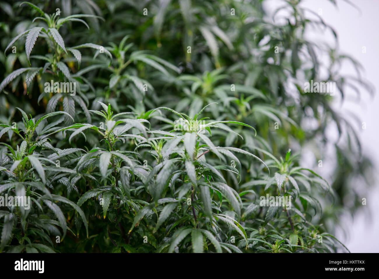 Plants de cannabis se développent à l\'intérieur d\'une installation ...