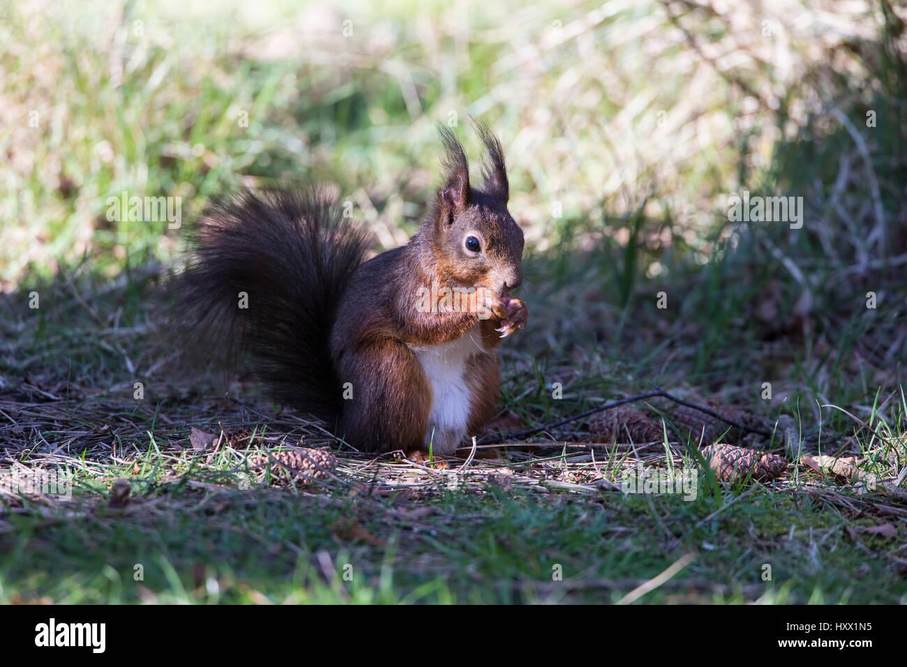 L'écureuil roux d'Anglesey, dans le Nord du Pays de Galles Photo Stock