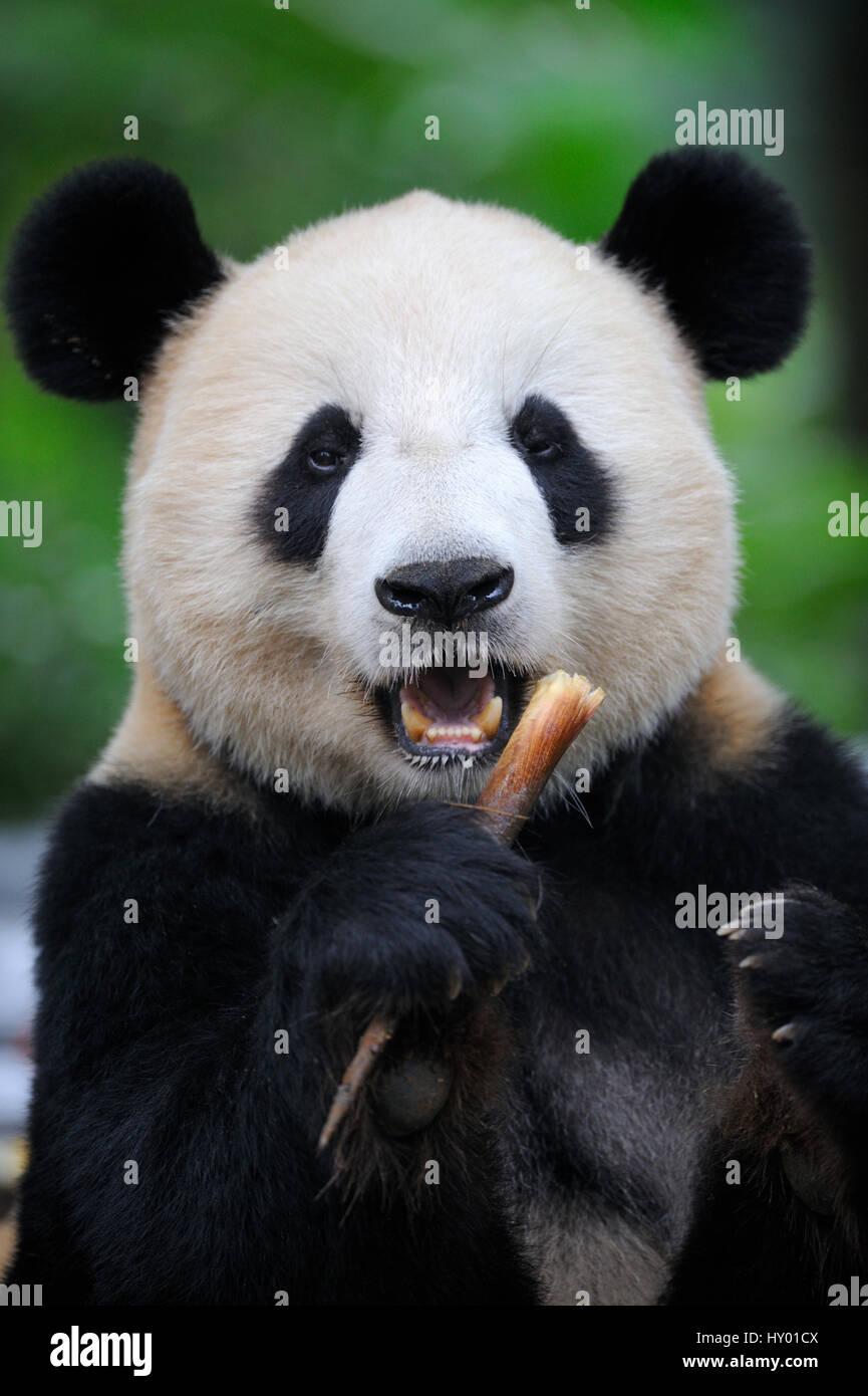 Tête portrait du grand panda (Ailuropoda melanoleuca) se nourrir de bambous. Bifengxia Panda Géant Centre de conservation et de reproduction, Yaan, Sichuan, Chine. Banque D'Images
