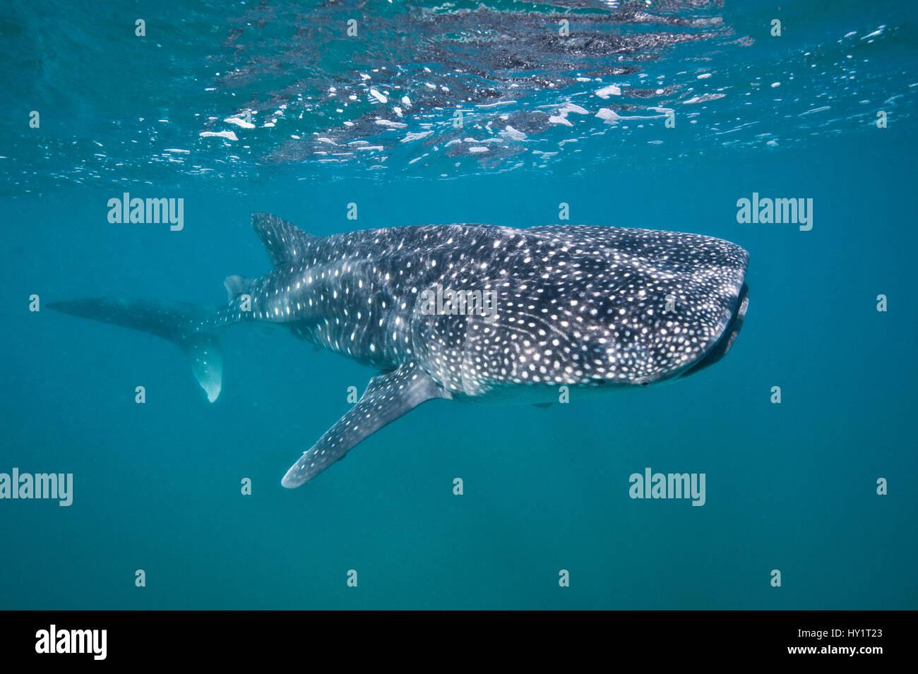 Les jeunes Whaleshark (Rhincodon typus) portrait, moins de 5m de longueur, se nourrissant de plancton près de la surface. La Paz, au Mexique. Mer de Cortez. Octobre. Banque D'Images