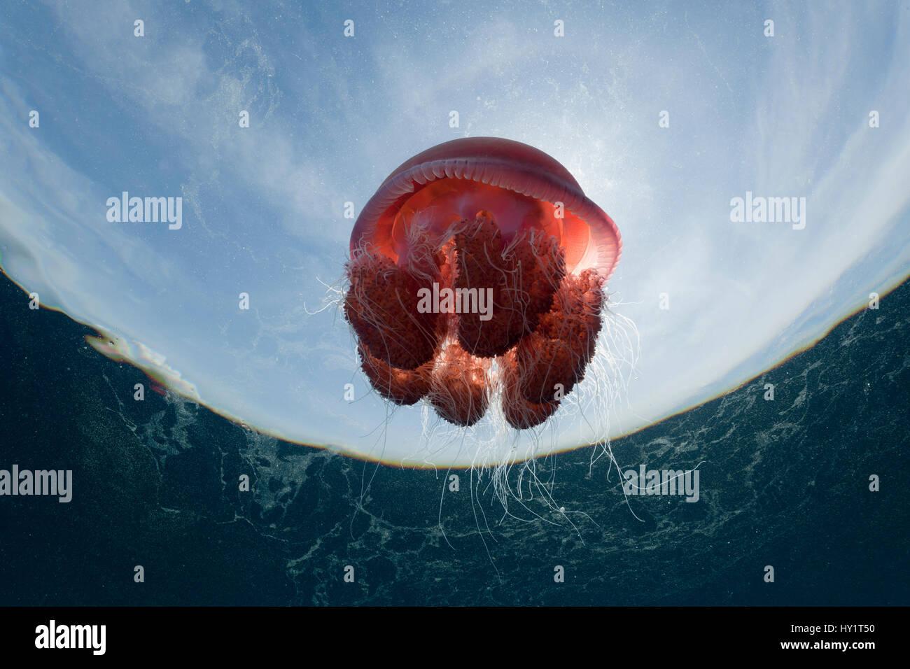 Low angle shot de méduse rouge flottant dans l'eau, l'alimentation de l'espèce, aux Philippines. Photo Stock