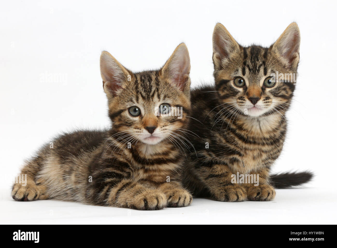 Deux chatons tabby, aux salissures et Picasso, 8 semaines. Photo Stock