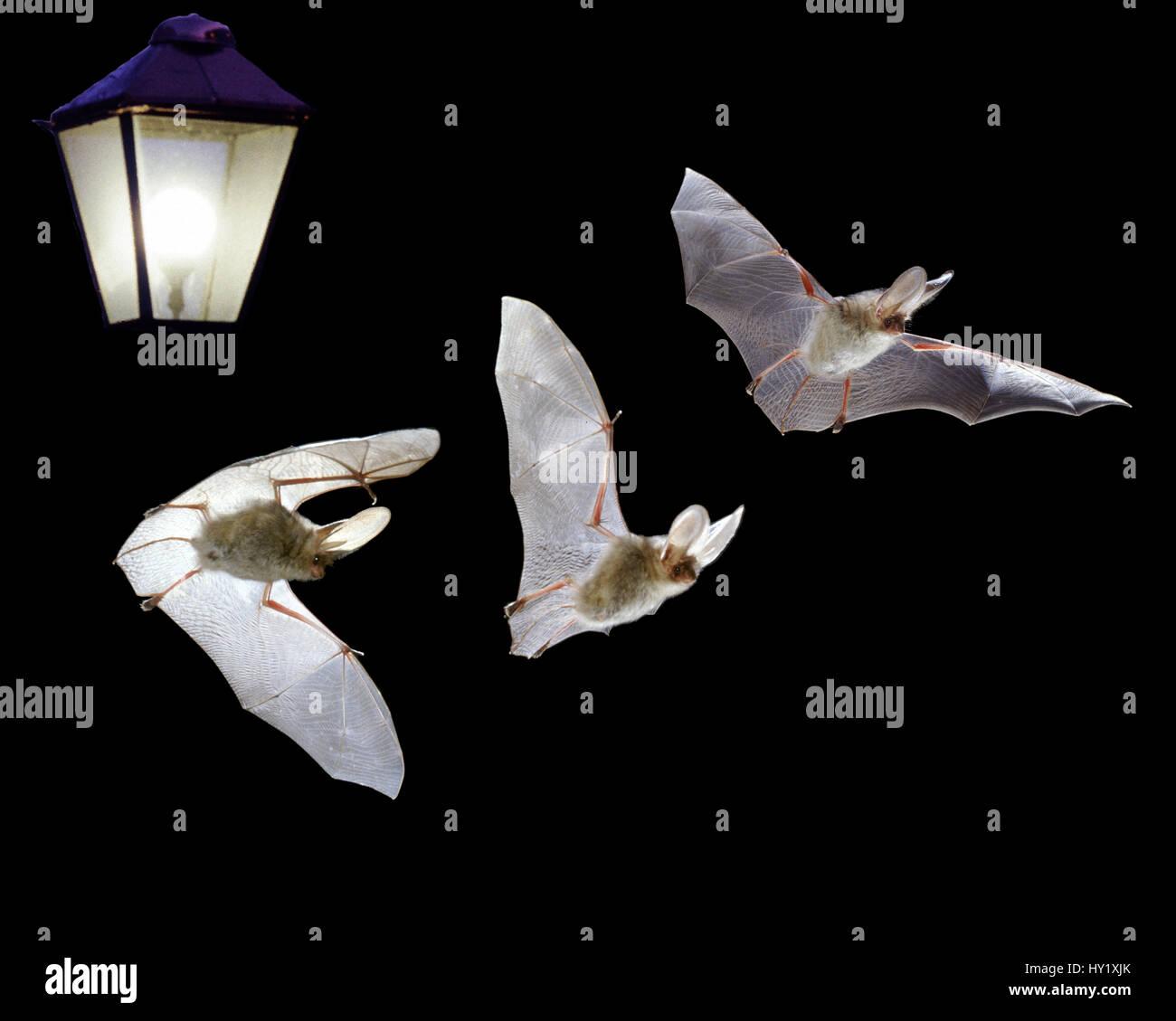 awesome longue plecotus auritus battant par lampe composite numrique photo  with lampe chauve souris. e7a4f993a82b