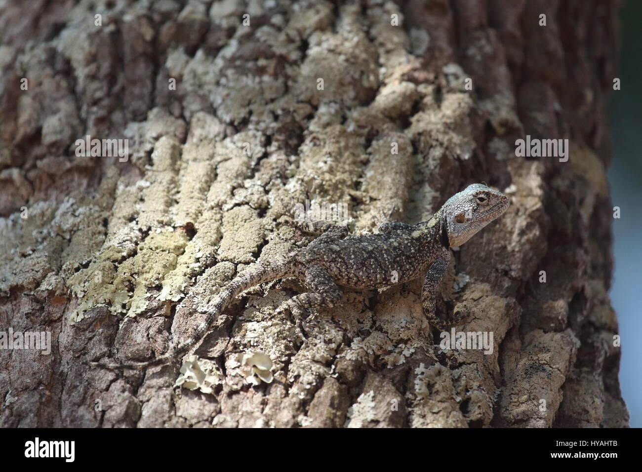 Arbre généalogique de la direction générale de l'Agama Acanthocercus branchii, Zambie, Afrique Photo Stock