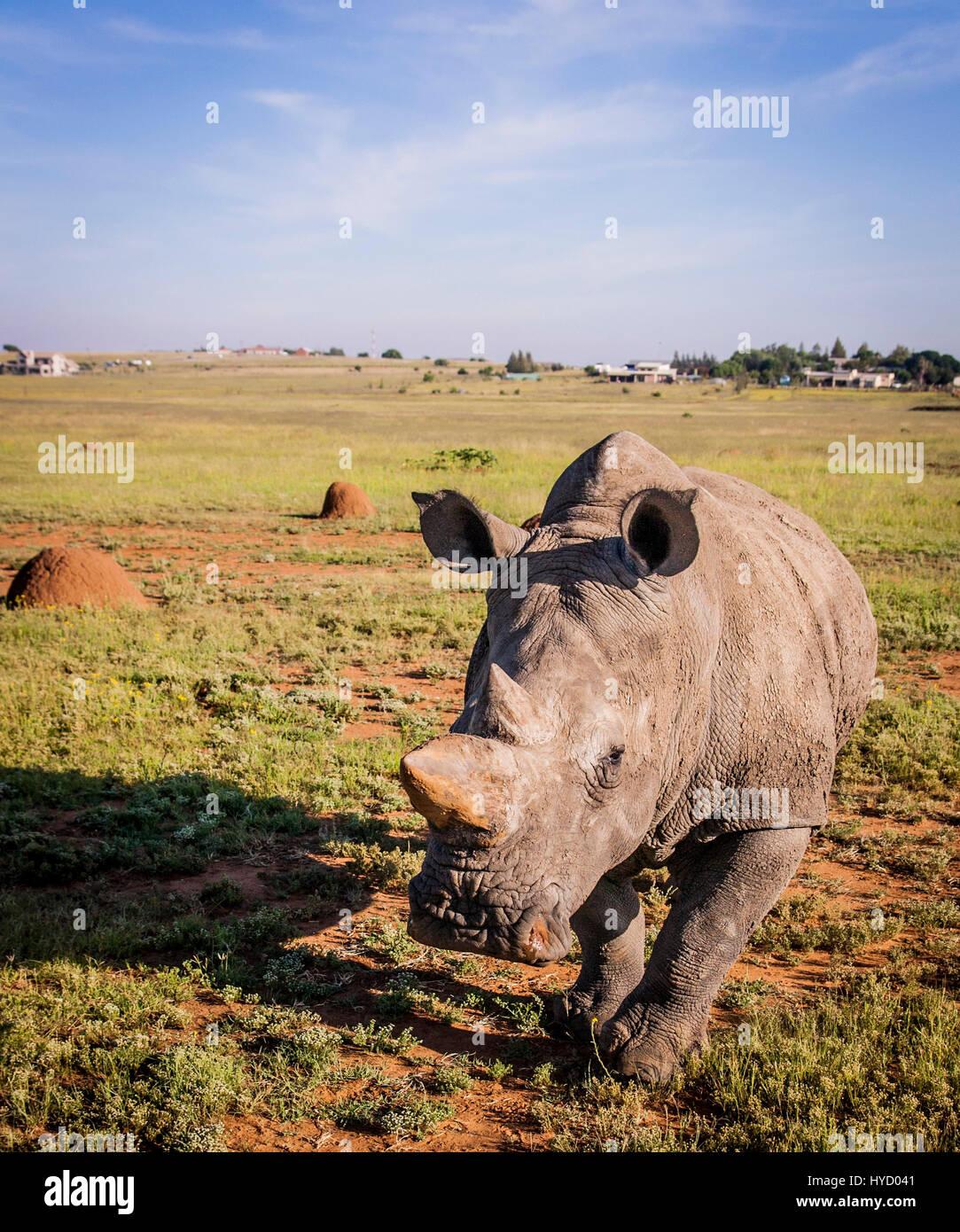 Le rhinocéros blanc d'Afrique du Sud Photo Stock