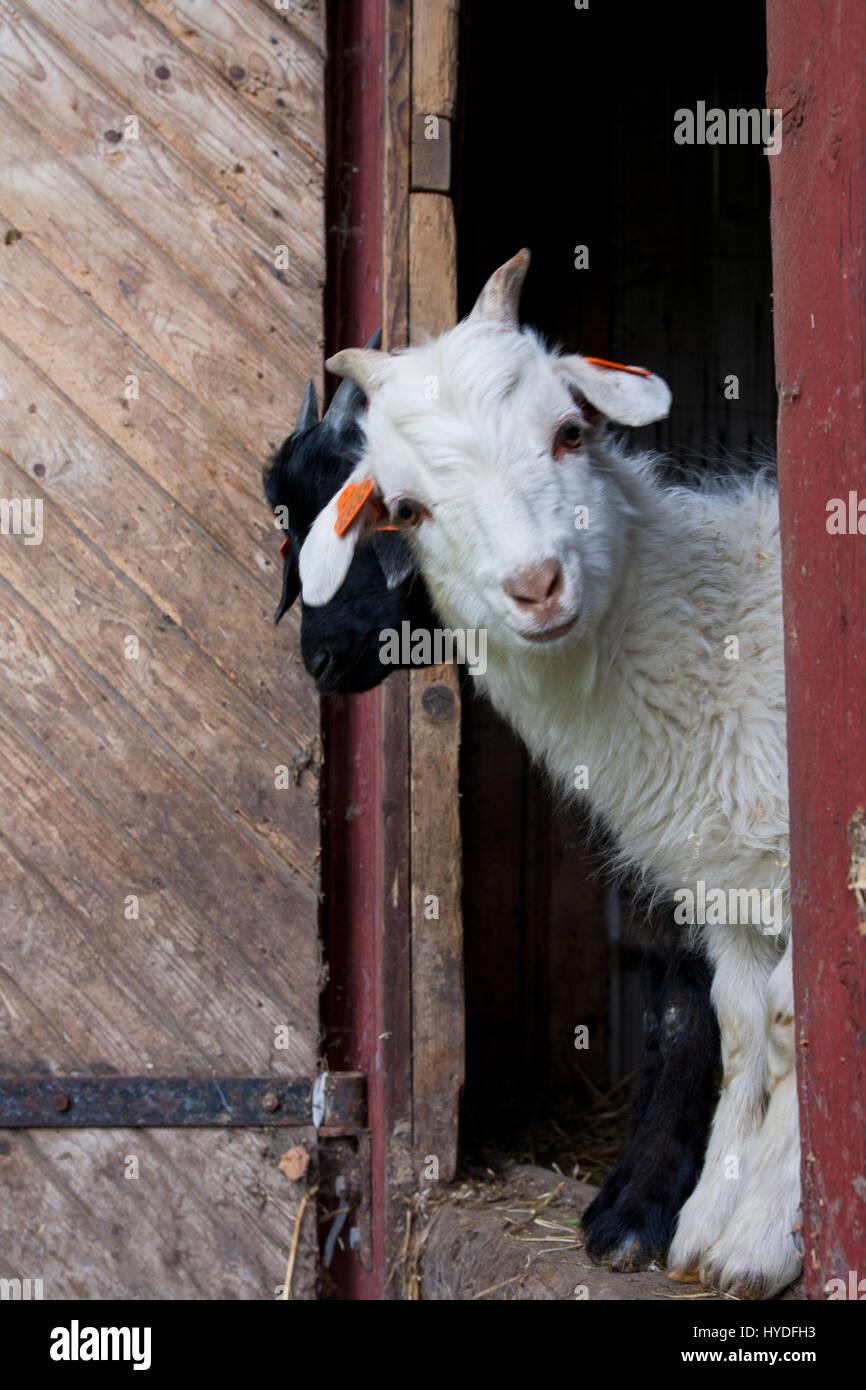 Animaux de ferme Photo Stock