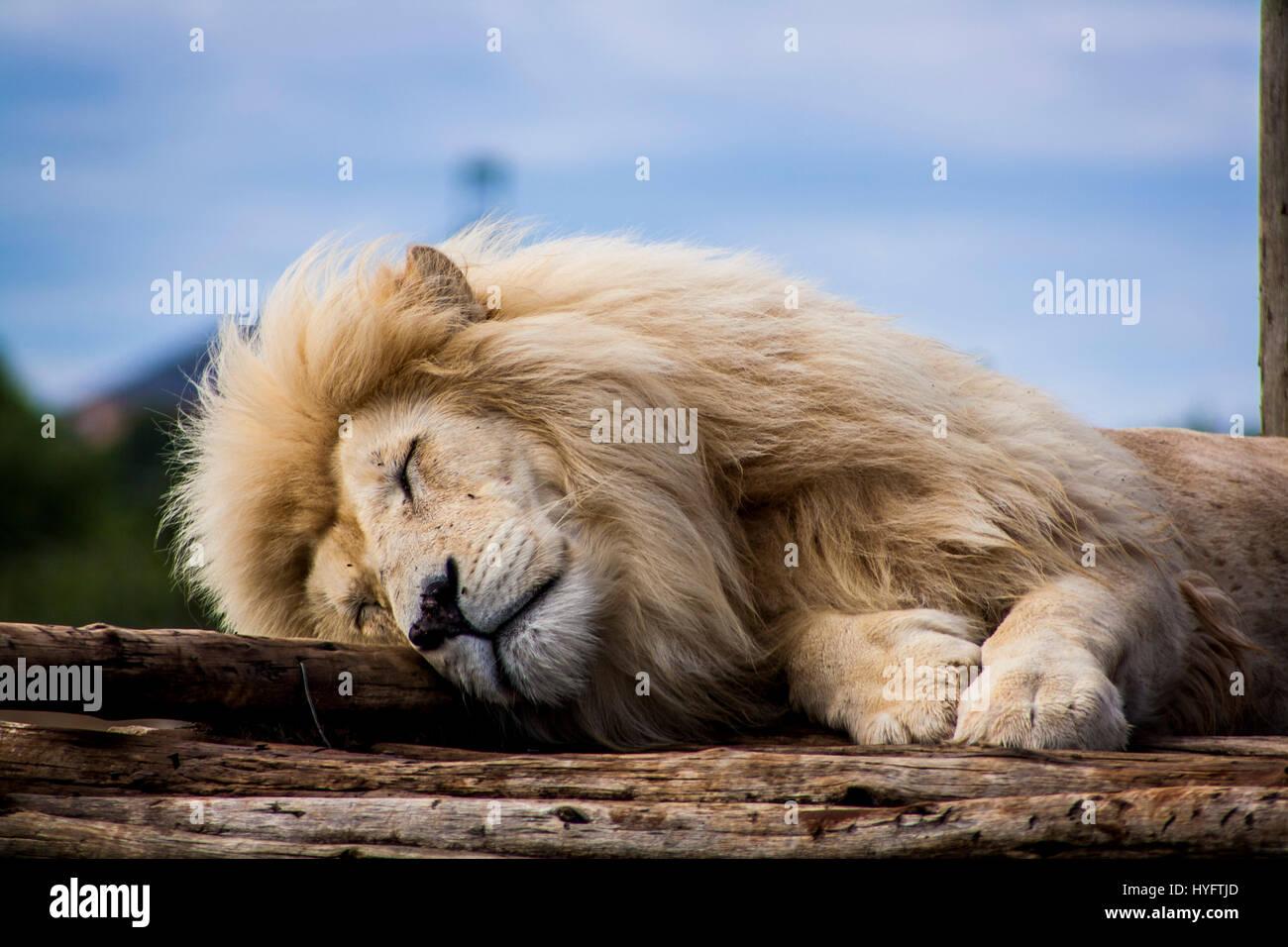 Lion en Afrique Photo Stock