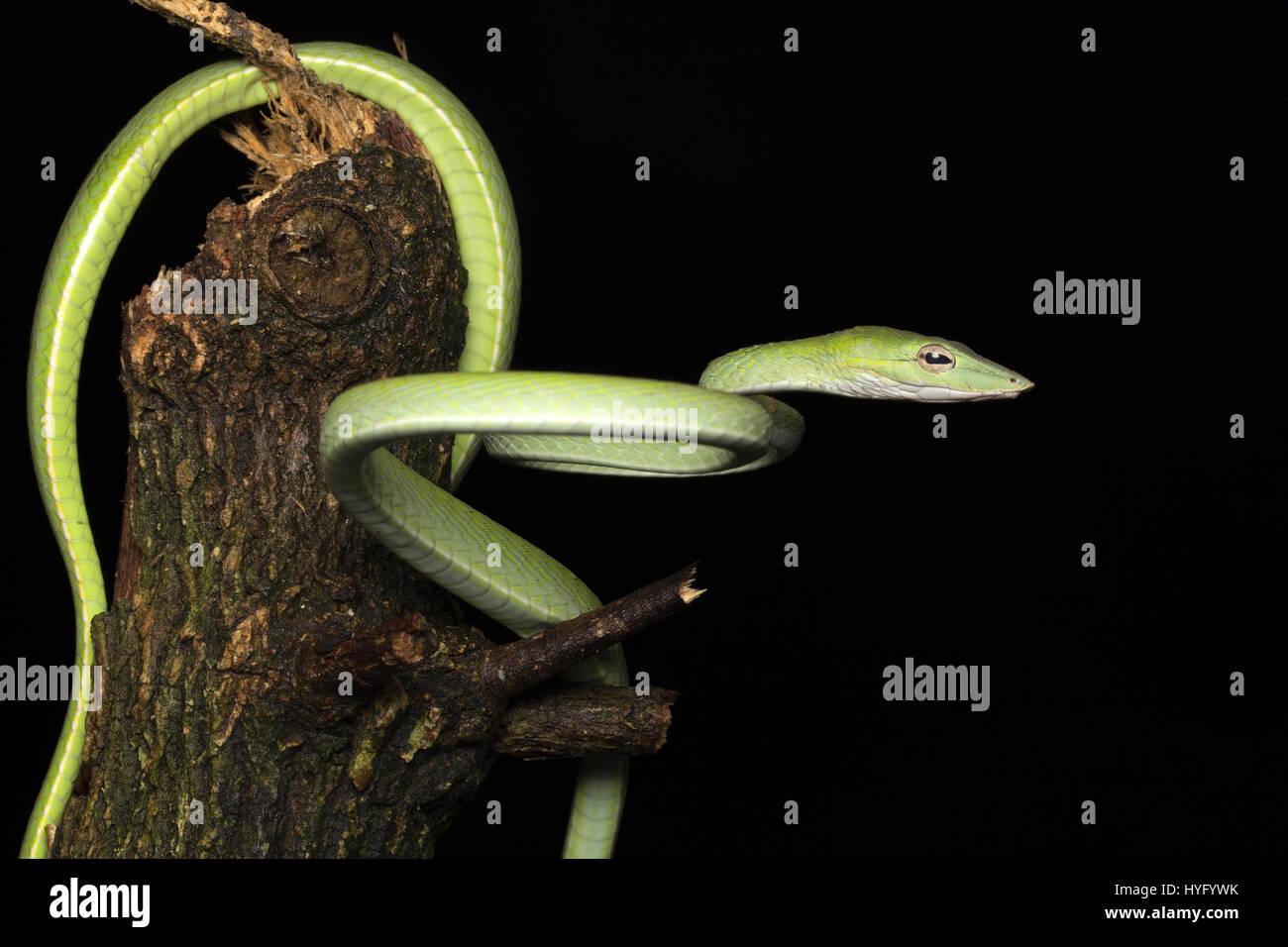 Whipsnake Oriental, Oriental, Serpent de vigne Banque D'Images