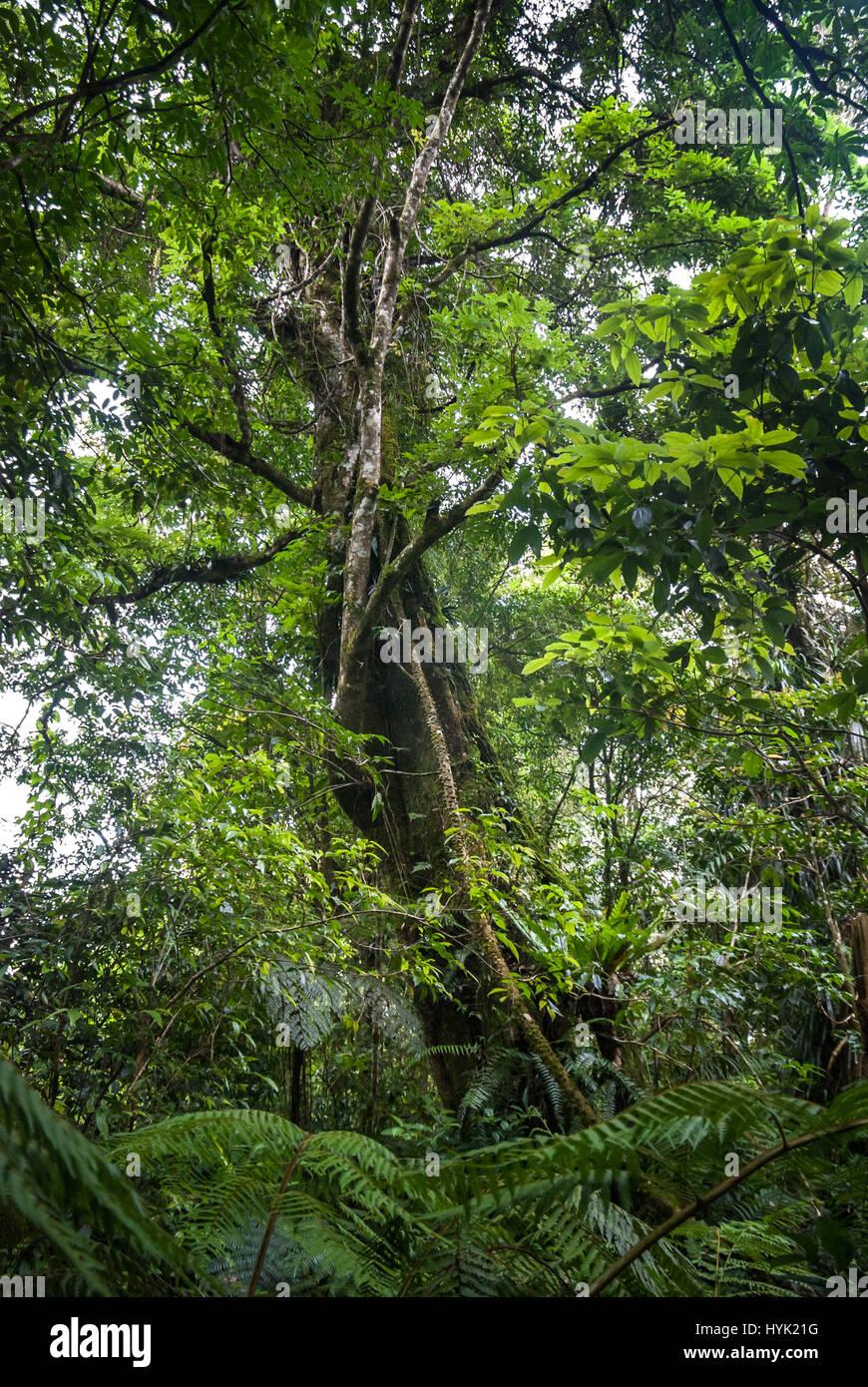 Un grand arbre dans les régions tropicales, sub-montagnarde forêt tropicale. Photo Stock